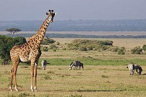 Giraffe in Enonkishu Conservancy in Kenya, East Africa