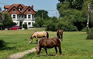 Ponies Grazing in the New Forest, England