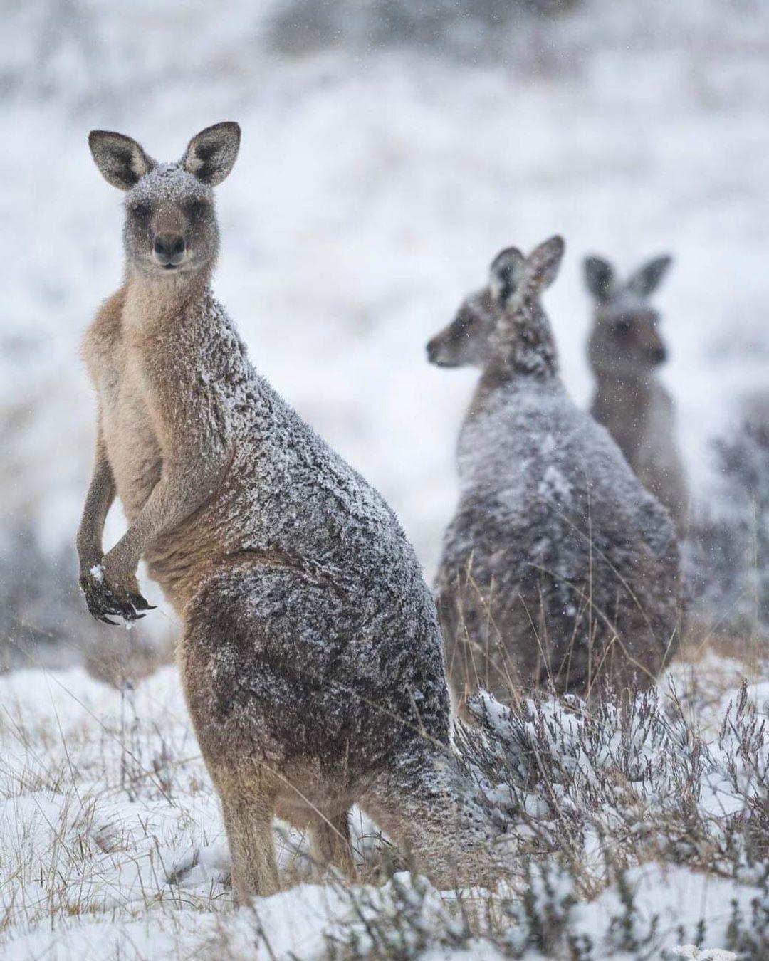 Kangaroo's in the snow