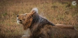 Photo of Lion for Greatest Mara Photographer of the Year Submission